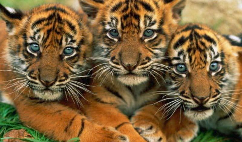 Scott Smiths All Animal Expo Febuary 7th 2015 Tiger Cubs